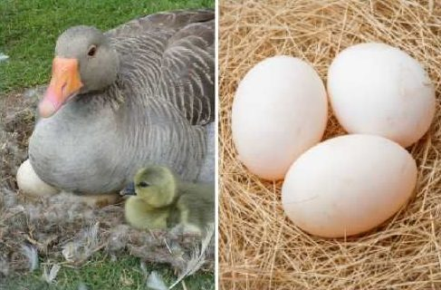 Почему не едят утиные и гусиные яйца