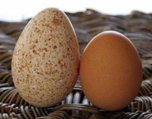 Сравнение куриного и индюшачьего яйца