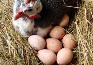 Цесарка сидит на яйцах